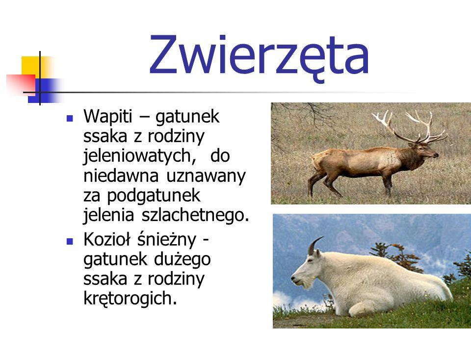 Zwierzęta Wapiti – gatunek ssaka z rodziny jeleniowatych, do niedawna uznawany za podgatunek jelenia szlachetnego. Kozioł śnieżny - gatunek dużego ssa
