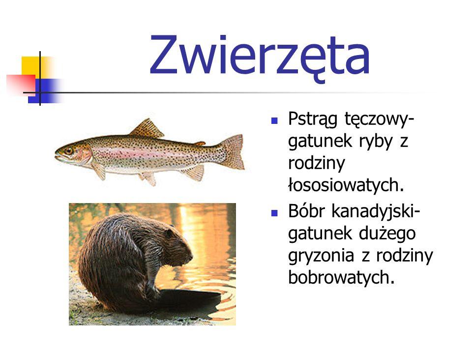 Zwierzęta Pstrąg tęczowy- gatunek ryby z rodziny łososiowatych. Bóbr kanadyjski- gatunek dużego gryzonia z rodziny bobrowatych.