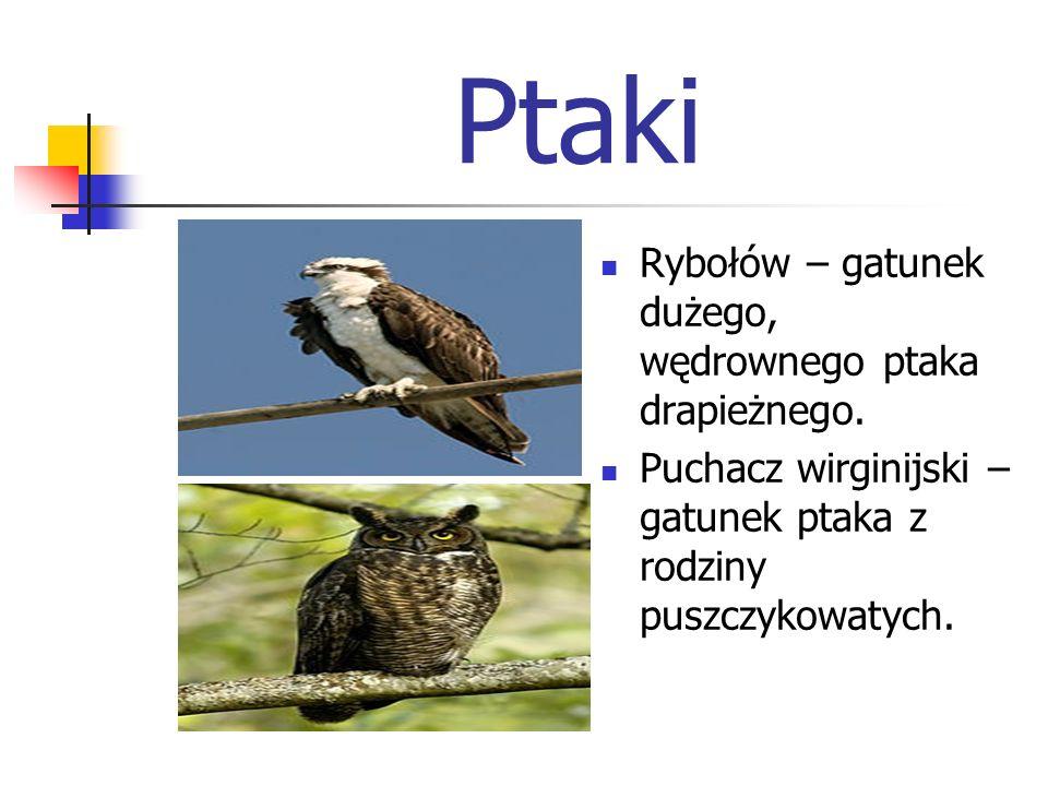 Ptaki Rybołów – gatunek dużego, wędrownego ptaka drapieżnego. Puchacz wirginijski – gatunek ptaka z rodziny puszczykowatych.