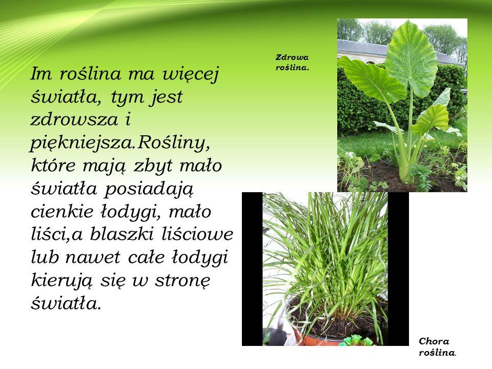 Im roślina ma więcej światła, tym jest zdrowsza i piękniejsza.Rośliny, które mają zbyt mało światła posiadają cienkie łodygi, mało liści,a blaszki liś
