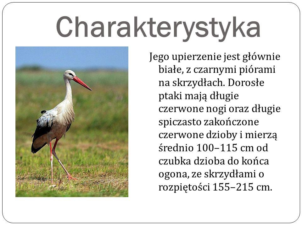 Charakterystyka Jego upierzenie jest głównie białe, z czarnymi piórami na skrzydłach.