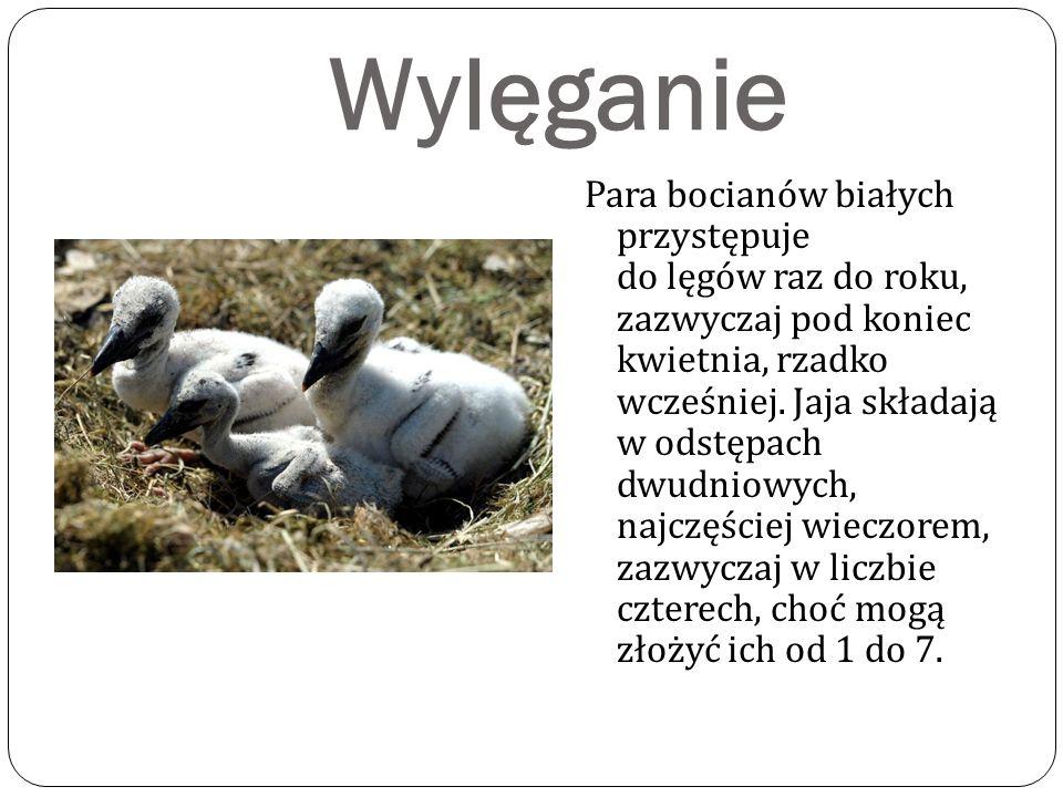 Wylęganie Para bocianów białych przystępuje do lęgów raz do roku, zazwyczaj pod koniec kwietnia, rzadko wcześniej.