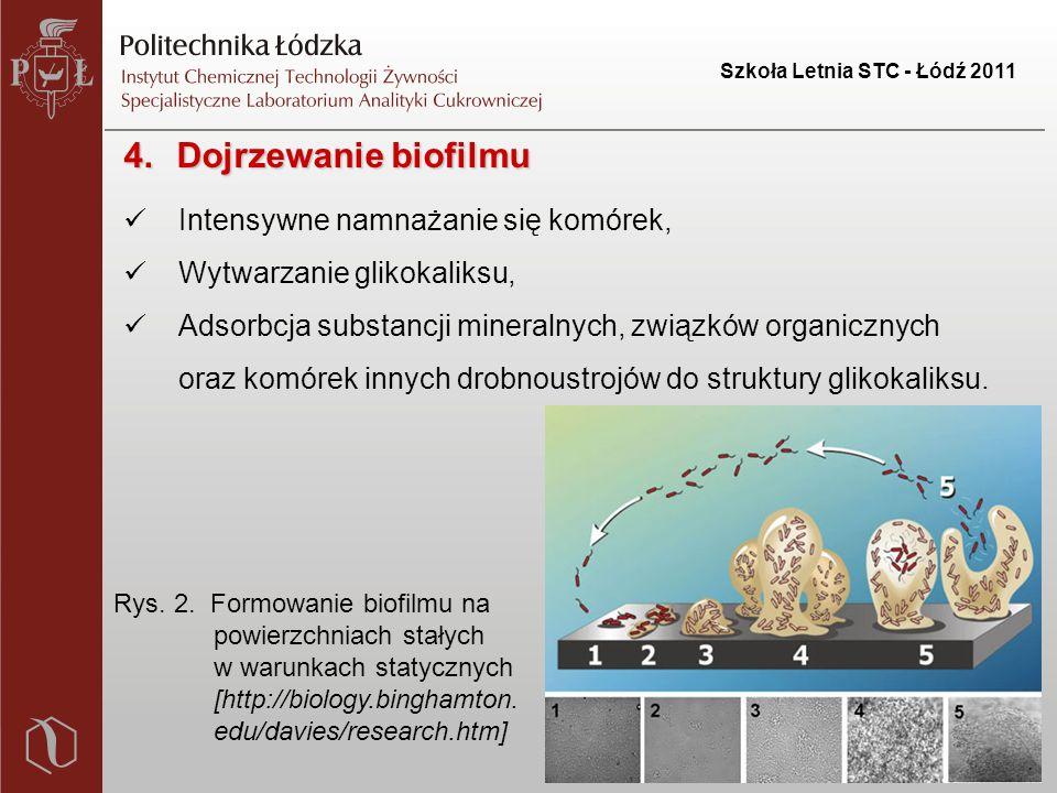 Szkoła Letnia STC - Łódź 2011 4.Dojrzewanie biofilmu Intensywne namnażanie się komórek, Wytwarzanie glikokaliksu, Adsorbcja substancji mineralnych, związków organicznych oraz komórek innych drobnoustrojów do struktury glikokaliksu.