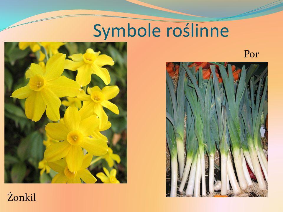 Symbole roślinne Żonkil Por
