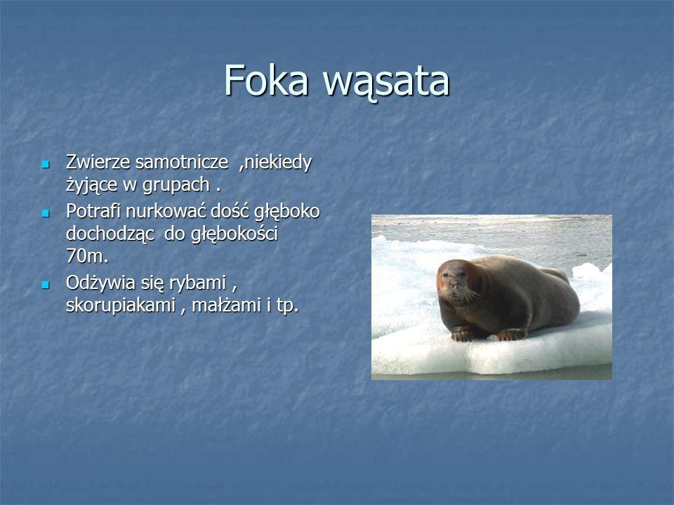 Foka wąsata Zwierze samotnicze,niekiedy żyjące w grupach. Zwierze samotnicze,niekiedy żyjące w grupach. Potrafi nurkować dość głęboko dochodząc do głę