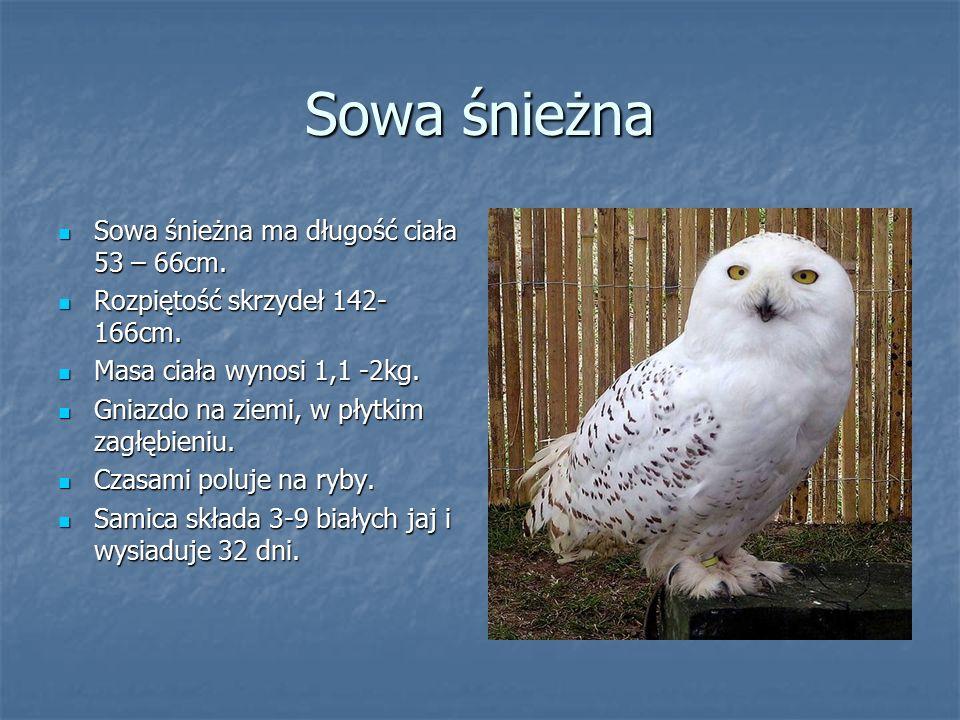 Sowa śnieżna Sowa śnieżna ma długość ciała 53 – 66cm. Sowa śnieżna ma długość ciała 53 – 66cm. Rozpiętość skrzydeł 142- 166cm. Rozpiętość skrzydeł 142