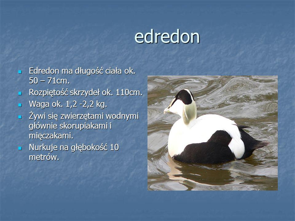 edredon Edredon ma długość ciała ok. 50 – 71cm. Edredon ma długość ciała ok. 50 – 71cm. Rozpiętość skrzydeł ok. 110cm. Rozpiętość skrzydeł ok. 110cm.