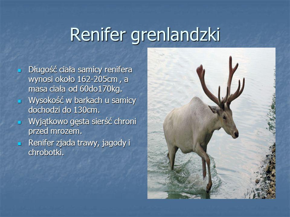 Renifer grenlandzki Długość ciała samicy renifera wynosi około 162-205cm, a masa ciała od 60do170kg. Długość ciała samicy renifera wynosi około 162-20