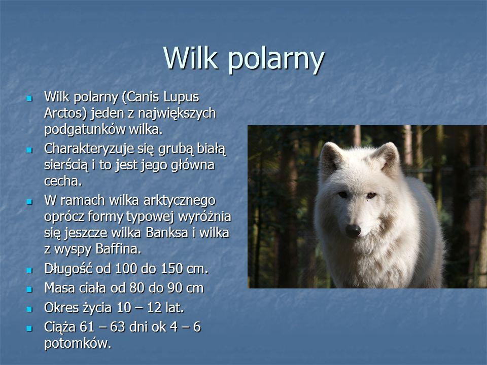 Wilk polarny Wilk polarny (Canis Lupus Arctos) jeden z największych podgatunków wilka. Wilk polarny (Canis Lupus Arctos) jeden z największych podgatun