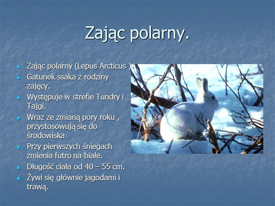 Zając polarny. Zając polarny (Lepus Arcticus ) Zając polarny (Lepus Arcticus ) Gatunek ssaka z rodziny zajęcy. Gatunek ssaka z rodziny zajęcy. Występu