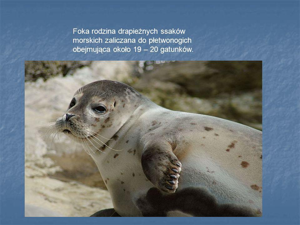 Foka rodzina drapieżnych ssaków morskich zaliczana do płetwonogich obejmująca około 19 – 20 gatunków.