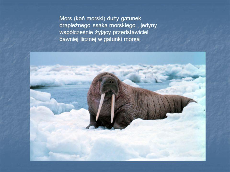 Mors (koń morski)-duży gatunek drapieżnego ssaka morskiego, jedyny współcześnie żyjący przedstawiciel dawniej licznej w gatunki morsa.