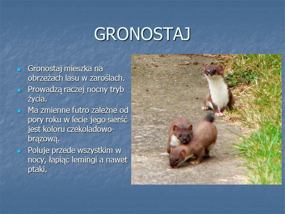 GRONOSTAJ Gronostaj mieszka na obrzeżach lasu w zaroślach. Gronostaj mieszka na obrzeżach lasu w zaroślach. Prowadzą raczej nocny tryb życia. Prowadzą