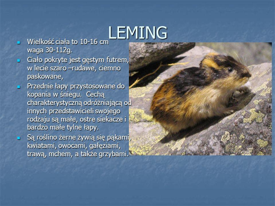 LEMING Wielkość ciała to 10-16 cm waga 30-112g. Wielkość ciała to 10-16 cm waga 30-112g. Ciało pokryte jest gęstym futrem, w lecie szaro –rudawe, ciem