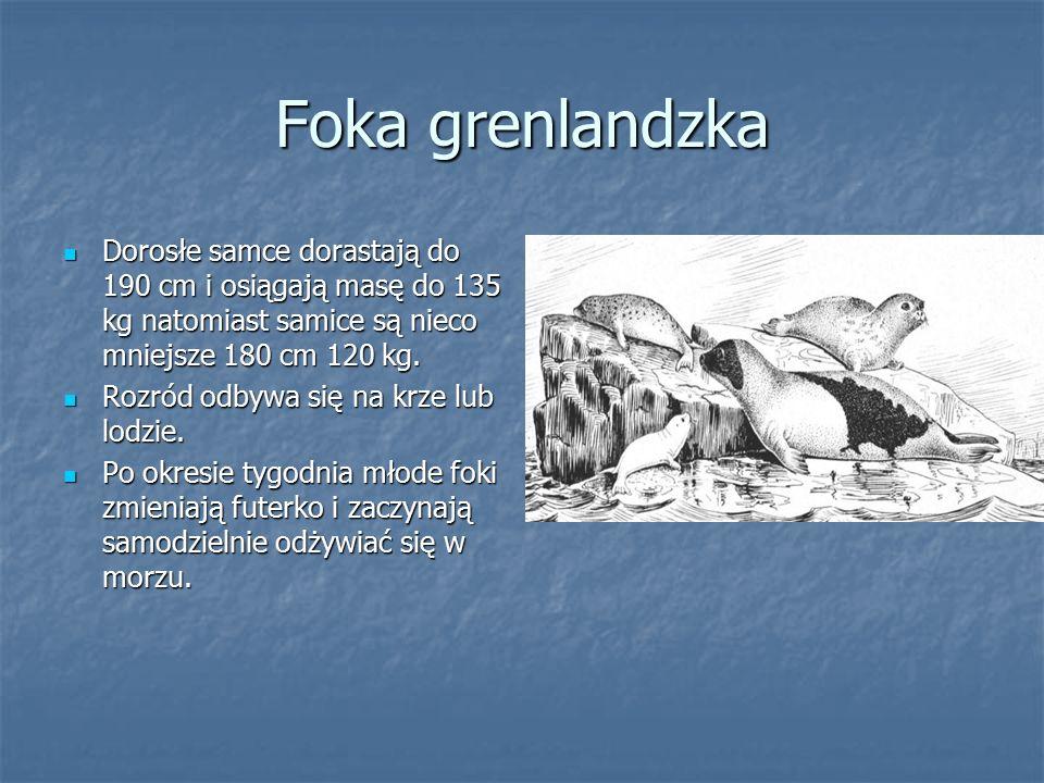 Foka grenlandzka Dorosłe samce dorastają do 190 cm i osiągają masę do 135 kg natomiast samice są nieco mniejsze 180 cm 120 kg. Dorosłe samce dorastają