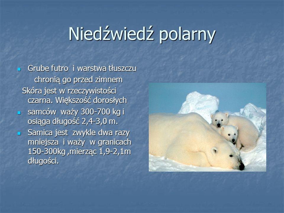 Niedźwiedź polarny Grube futro i warstwa tłuszczu Grube futro i warstwa tłuszczu chronią go przed zimnem chronią go przed zimnem Skóra jest w rzeczywi
