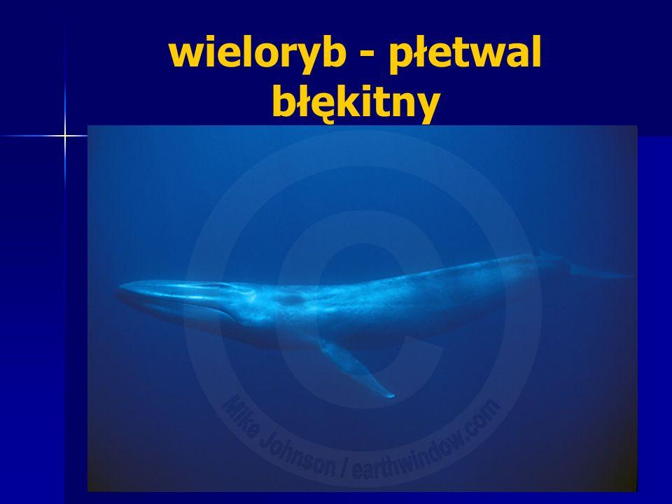 wieloryb - płetwal błękitny