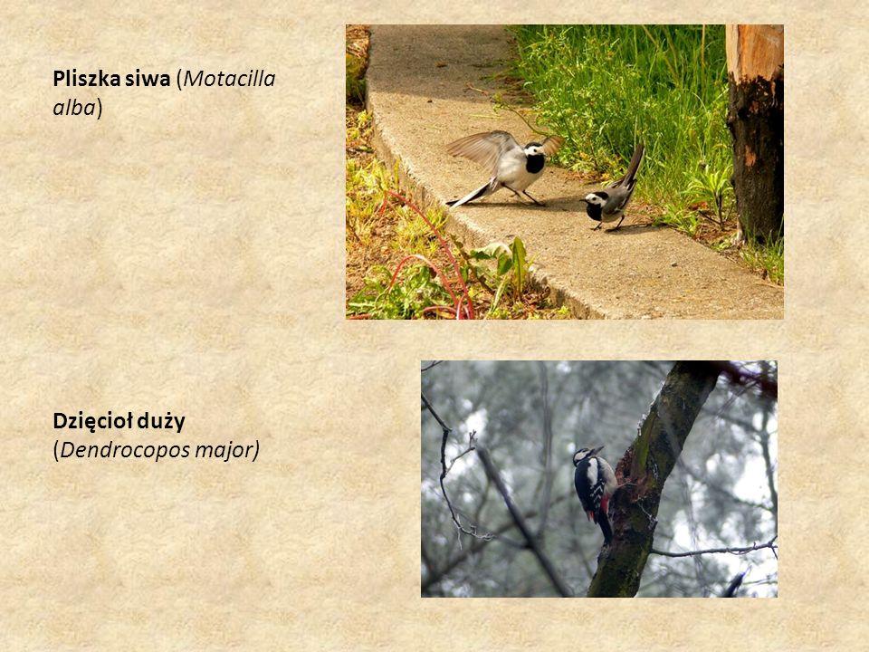 Pliszka siwa (Motacilla alba) Dzięcioł duży (Dendrocopos major)