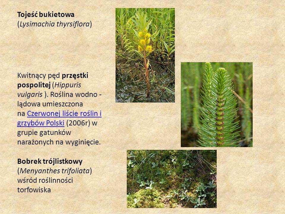 Tojeść bukietowa (Lysimachia thyrsiflora) Kwitnący pęd przęstki pospolitej (Hippuris vulgaris ).