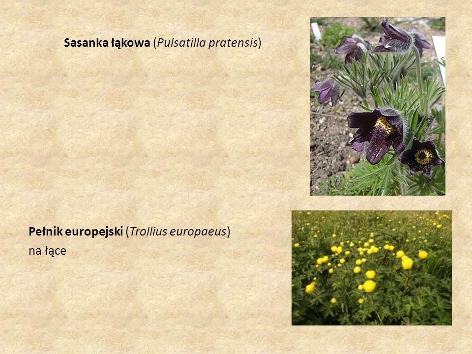 Sasanka łąkowa (Pulsatilla pratensis) Pełnik europejski (Trollius europaeus) na łące