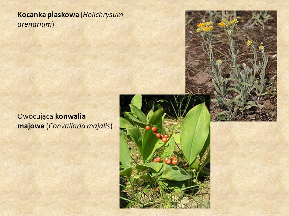 Kocanka piaskowa (Helichrysum arenarium) Owocująca konwalia majowa (Convallaria majalis)