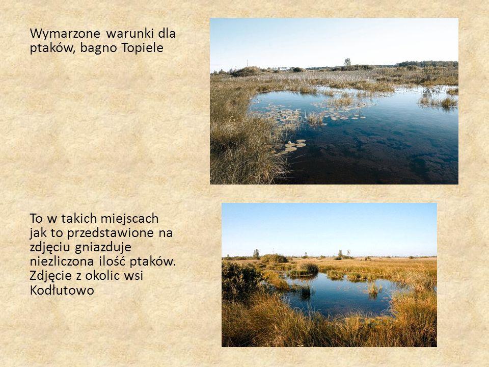 Wymarzone warunki dla ptaków, bagno Topiele To w takich miejscach jak to przedstawione na zdjęciu gniazduje niezliczona ilość ptaków.