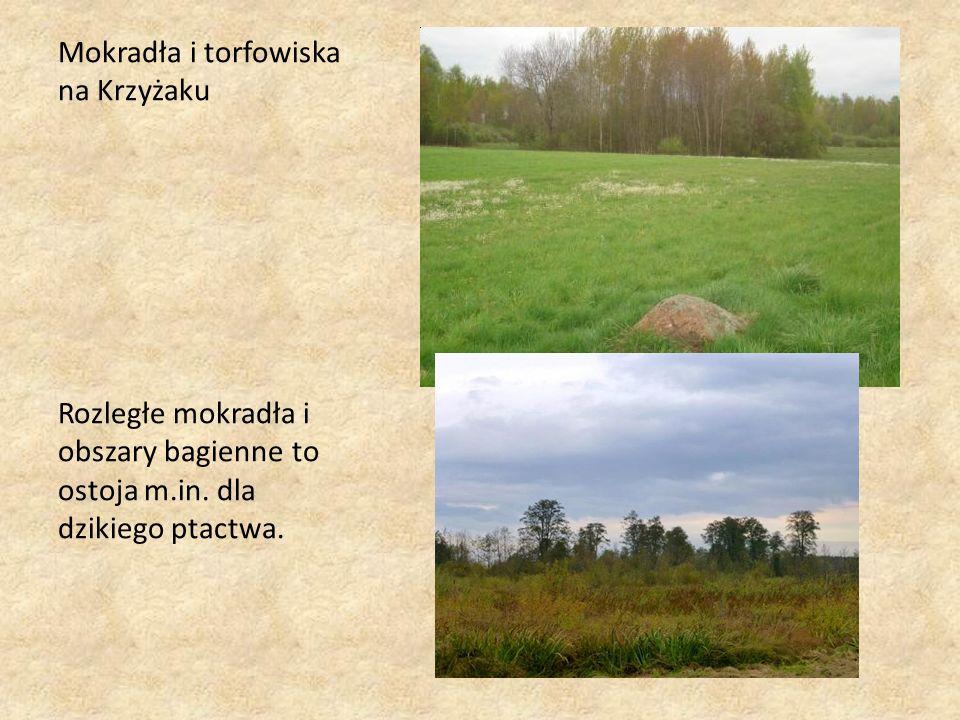 Mokradła i torfowiska na Krzyżaku Rozległe mokradła i obszary bagienne to ostoja m.in.