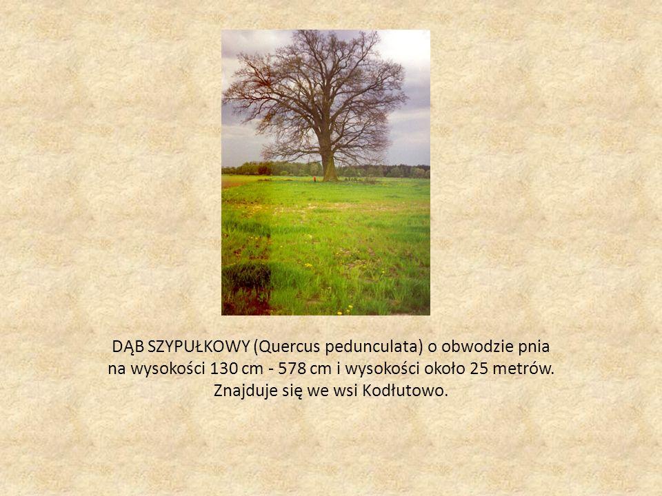 DĄB SZYPUŁKOWY (Quercus pedunculata) o obwodzie pnia na wysokości 130 cm - 578 cm i wysokości około 25 metrów.