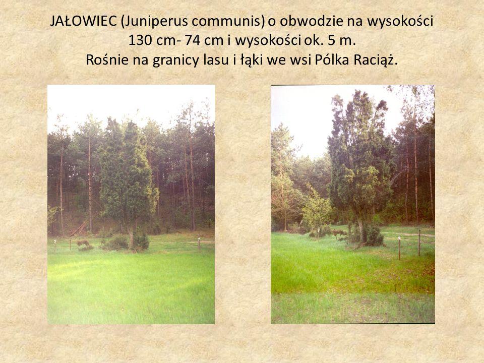 JAŁOWIEC (Juniperus communis) o obwodzie na wysokości 130 cm- 74 cm i wysokości ok.