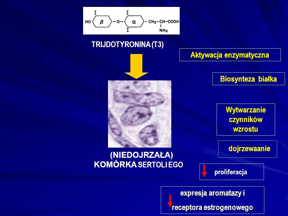 (NIEDOJRZAŁA) KOMÓRKA SERTOLI EGO TRIJDOTYRONINA (T3) Aktywacja enzymatyczna Wytwarzanie czynników wzrostu expresja aromatazy i receptora estrogenowego Biosynteza białka proliferacja dojrzewaanie