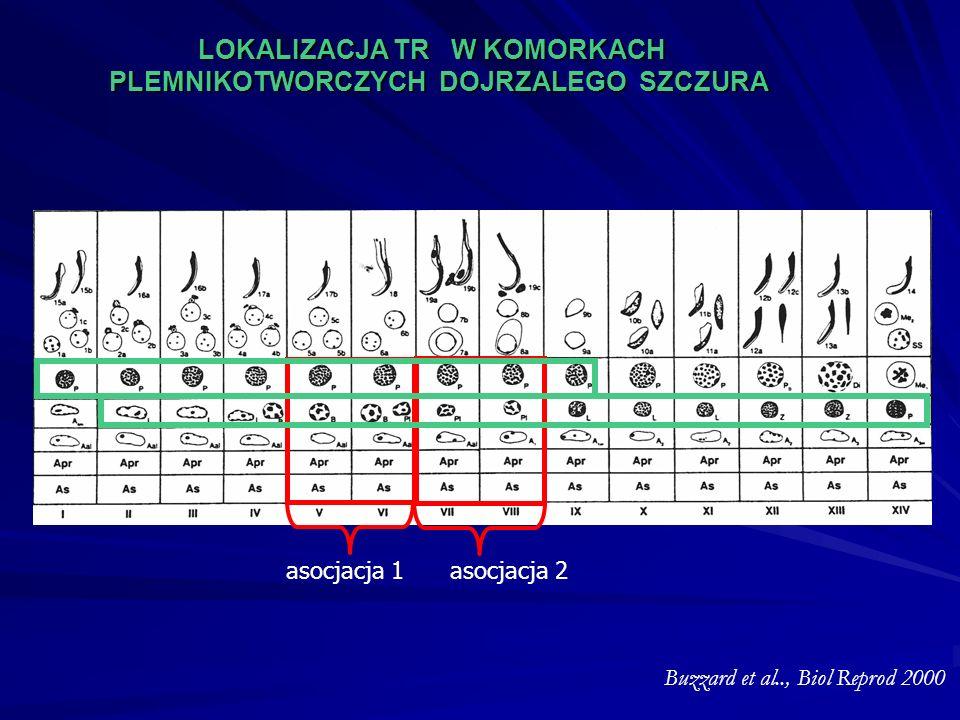 asocjacja 1 asocjacja 2 LOKALIZACJA TR W KOMORKACH PLEMNIKOTWORCZYCH DOJRZALEGO SZCZURA Buzzard et al.., Biol Reprod 2000