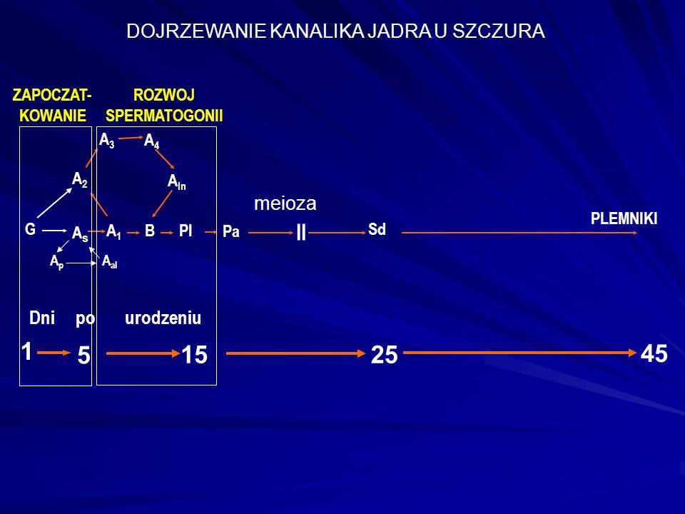 AsAs A1A1 A2A2 A3A3 A4A4 A In BPl II 25 meioza Sd 45 Dni po urodzeniu PLEMNIKI G Pa 15 5 1 ApAp A al ZAPOCZAT- KOWANIE ROZWOJ SPERMATOGONII DOJRZEWANIE KANALIKA JADRA U SZCZURA