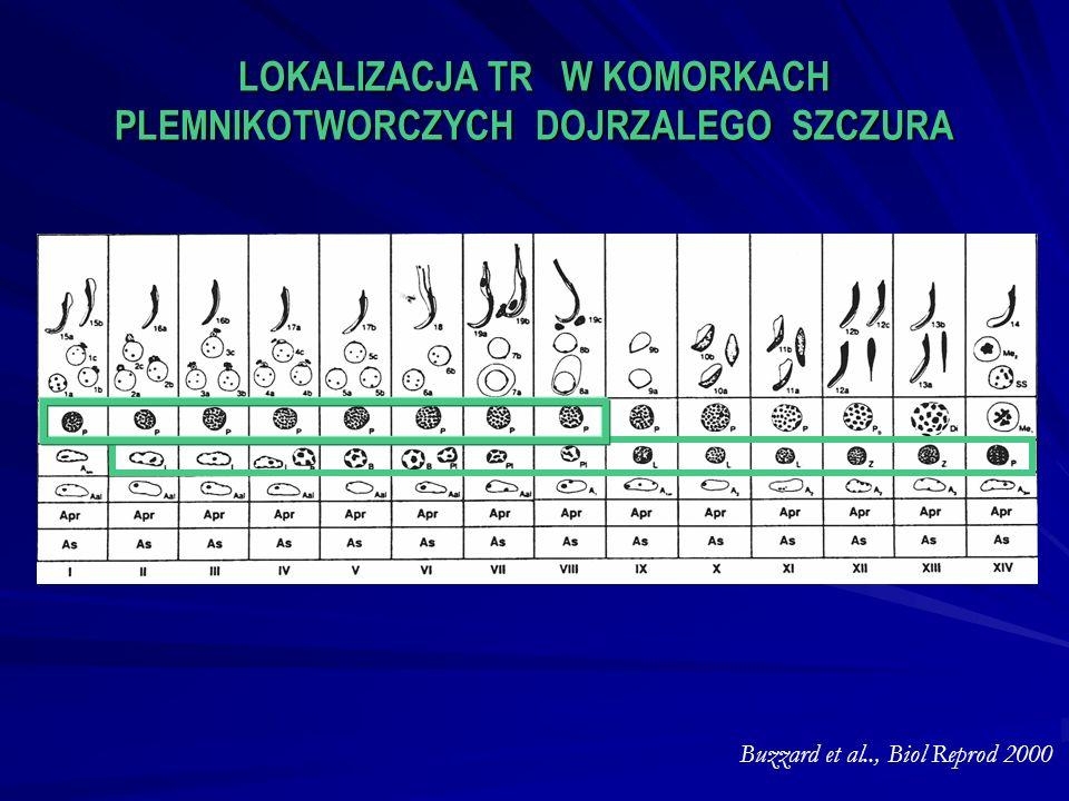LOKALIZACJA TR W KOMORKACH PLEMNIKOTWORCZYCH DOJRZALEGO SZCZURA Buzzard et al.., Biol Reprod 2000