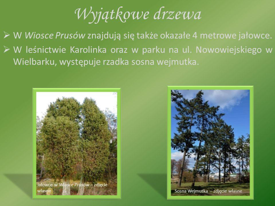 Wyjątkowe drzewa WW Wiosce Prusów znajdują się także okazałe 4 metrowe jałowce.