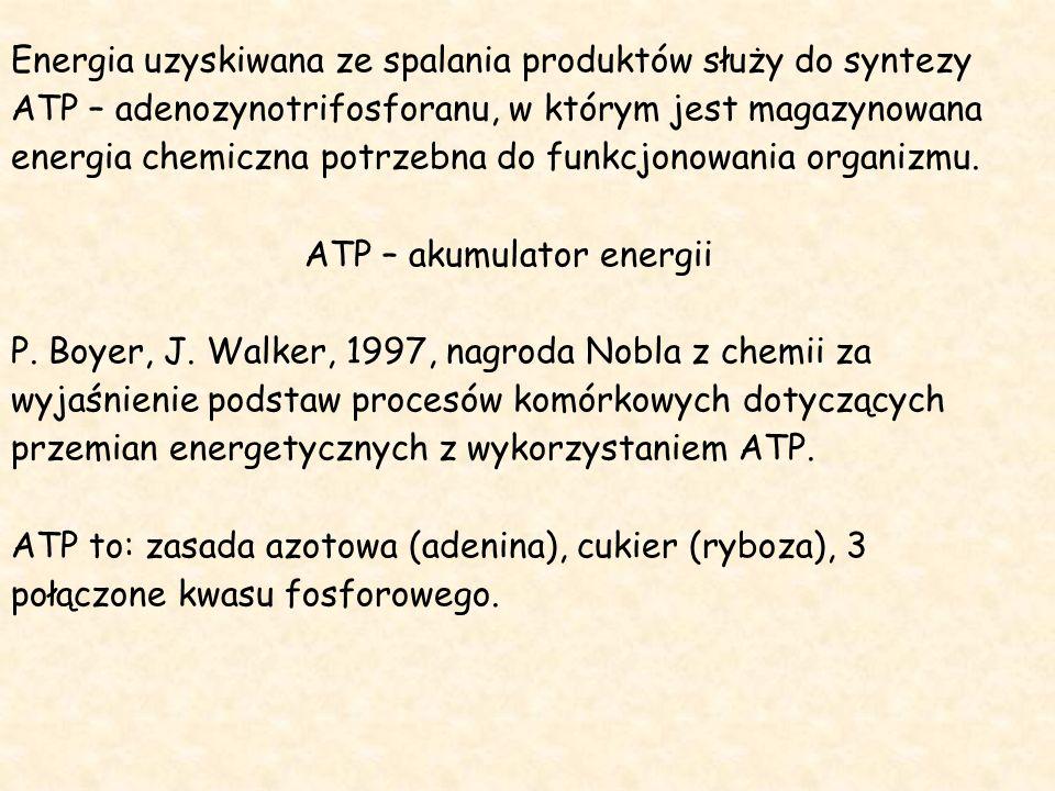 Energia uzyskiwana ze spalania produktów służy do syntezy ATP – adenozynotrifosforanu, w którym jest magazynowana energia chemiczna potrzebna do funkcjonowania organizmu.