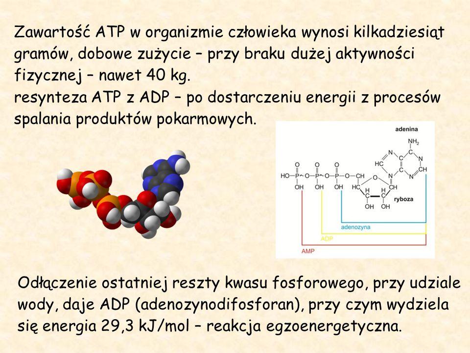 Zawartość ATP w organizmie człowieka wynosi kilkadziesiąt gramów, dobowe zużycie – przy braku dużej aktywności fizycznej – nawet 40 kg.