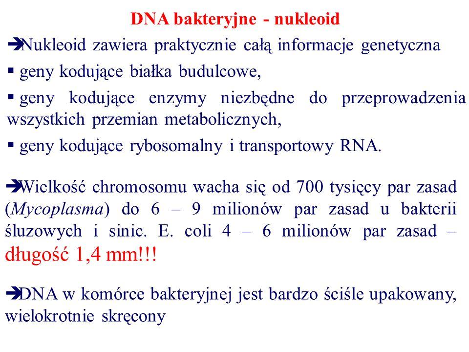 DNA bakteryjne - nukleoid  Nukleoid zawiera praktycznie całą informacje genetyczna  geny kodujące białka budulcowe,  geny kodujące enzymy niezbędne do przeprowadzenia wszystkich przemian metabolicznych,  geny kodujące rybosomalny i transportowy RNA.