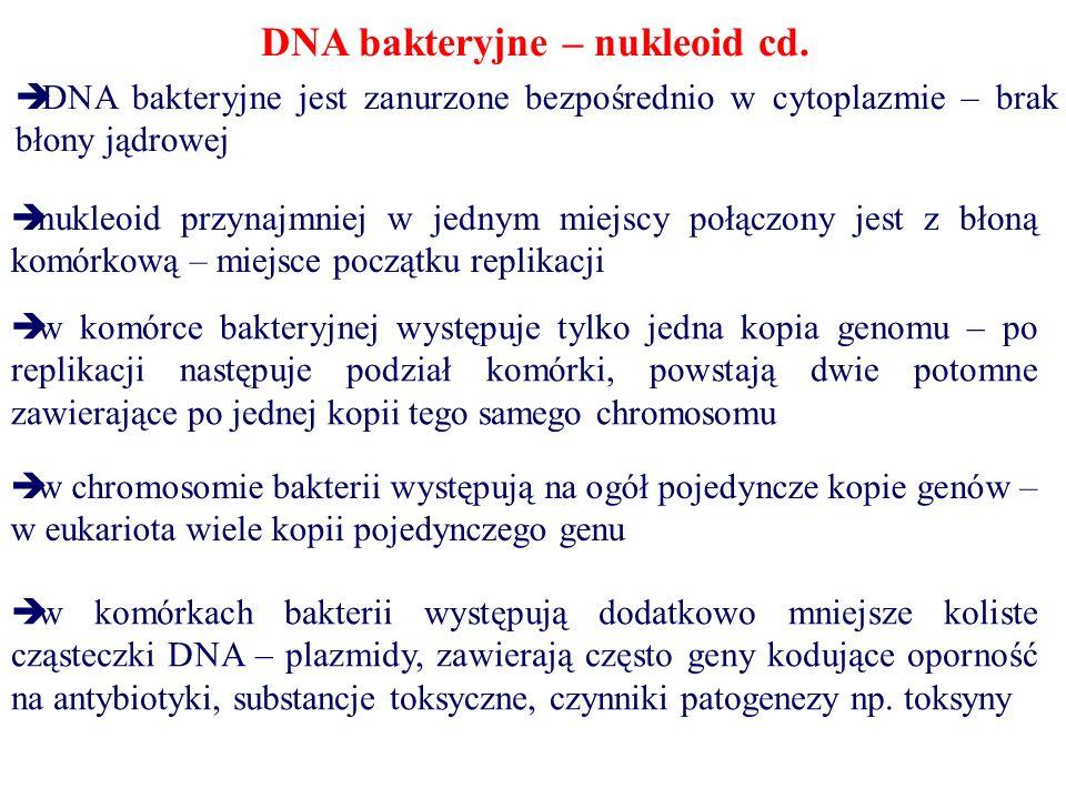 DNA bakteryjne – nukleoid cd.  DNA bakteryjne jest zanurzone bezpośrednio w cytoplazmie – brak błony jądrowej  nukleoid przynajmniej w jednym miejsc