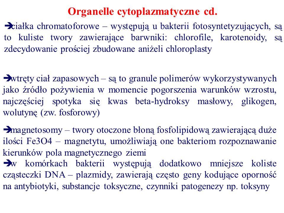 Organelle cytoplazmatyczne cd.  ciałka chromatoforowe – występują u bakterii fotosyntetyzujących, są to kuliste twory zawierające barwniki: chlorofil