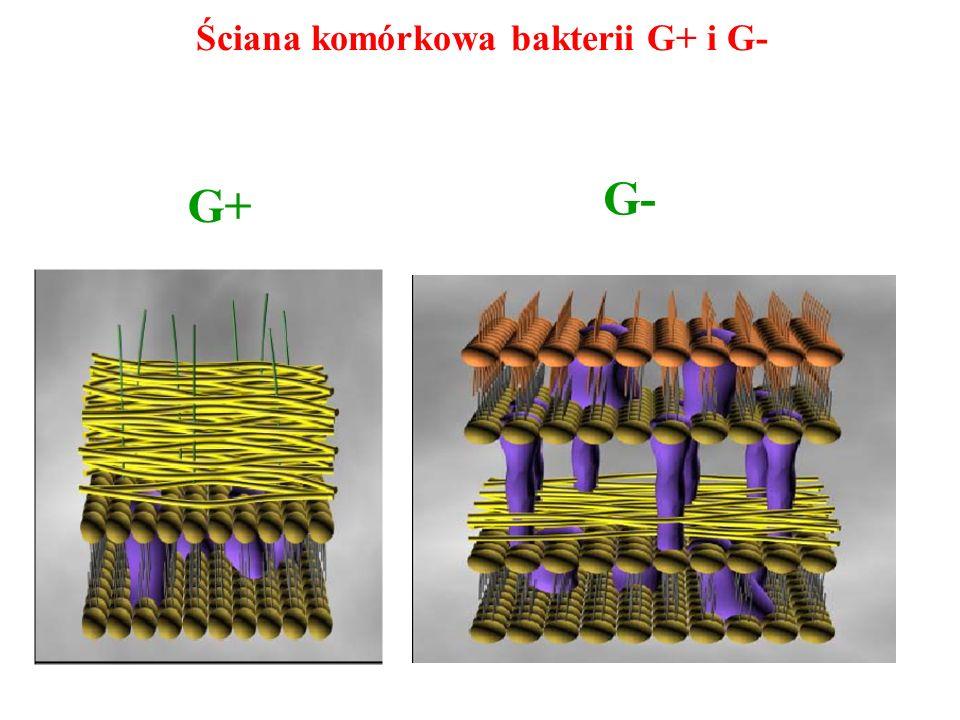 Ściana komórkowa bakterii G+ i G- G+ G-