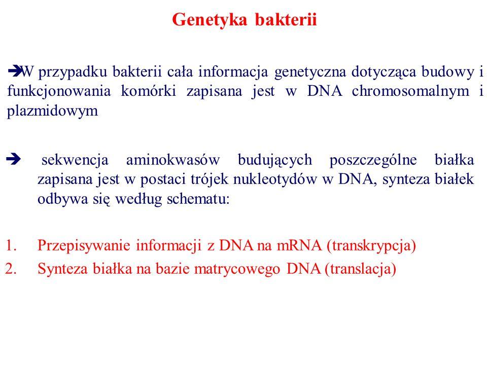 Genetyka bakterii  W przypadku bakterii cała informacja genetyczna dotycząca budowy i funkcjonowania komórki zapisana jest w DNA chromosomalnym i plazmidowym  sekwencja aminokwasów budujących poszczególne białka zapisana jest w postaci trójek nukleotydów w DNA, synteza białek odbywa się według schematu: 1.Przepisywanie informacji z DNA na mRNA (transkrypcja) 2.Synteza białka na bazie matrycowego DNA (translacja)