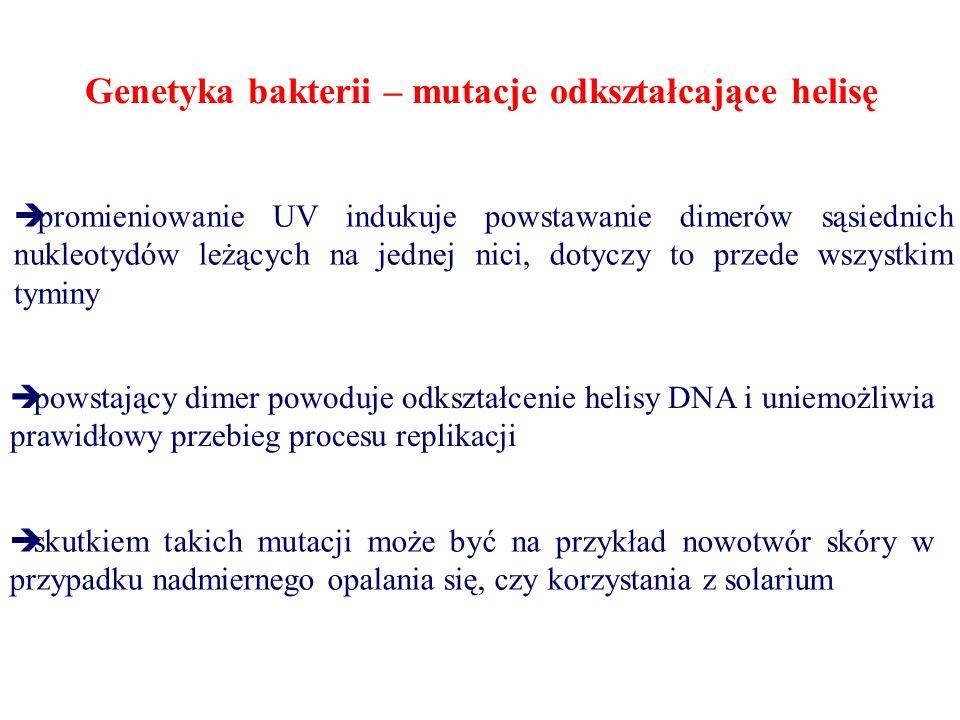 Genetyka bakterii – mutacje odkształcające helisę  promieniowanie UV indukuje powstawanie dimerów sąsiednich nukleotydów leżących na jednej nici, dotyczy to przede wszystkim tyminy  powstający dimer powoduje odkształcenie helisy DNA i uniemożliwia prawidłowy przebieg procesu replikacji  skutkiem takich mutacji może być na przykład nowotwór skóry w przypadku nadmiernego opalania się, czy korzystania z solarium
