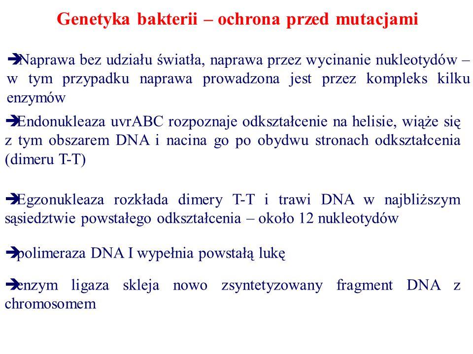 Genetyka bakterii – ochrona przed mutacjami  Naprawa bez udziału światła, naprawa przez wycinanie nukleotydów – w tym przypadku naprawa prowadzona jest przez kompleks kilku enzymów  Endonukleaza uvrABC rozpoznaje odkształcenie na helisie, wiąże się z tym obszarem DNA i nacina go po obydwu stronach odkształcenia (dimeru T-T)  Egzonukleaza rozkłada dimery T-T i trawi DNA w najbliższym sąsiedztwie powstałego odkształcenia – około 12 nukleotydów  polimeraza DNA I wypełnia powstałą lukę  enzym ligaza skleja nowo zsyntetyzowany fragment DNA z chromosomem