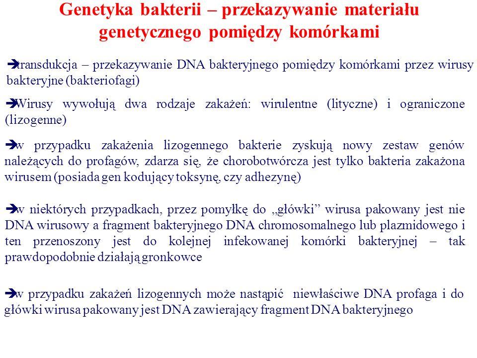 """Genetyka bakterii – przekazywanie materiału genetycznego pomiędzy komórkami  transdukcja – przekazywanie DNA bakteryjnego pomiędzy komórkami przez wirusy bakteryjne (bakteriofagi)  Wirusy wywołują dwa rodzaje zakażeń: wirulentne (lityczne) i ograniczone (lizogenne)  w przypadku zakażenia lizogennego bakterie zyskują nowy zestaw genów należących do profagów, zdarza się, że chorobotwórcza jest tylko bakteria zakażona wirusem (posiada gen kodujący toksynę, czy adhezynę)  w niektórych przypadkach, przez pomyłkę do """"główki wirusa pakowany jest nie DNA wirusowy a fragment bakteryjnego DNA chromosomalnego lub plazmidowego i ten przenoszony jest do kolejnej infekowanej komórki bakteryjnej – tak prawdopodobnie działają gronkowce  w przypadku zakażeń lizogennych może nastąpić niewłaściwe DNA profaga i do główki wirusa pakowany jest DNA zawierający fragment DNA bakteryjnego"""