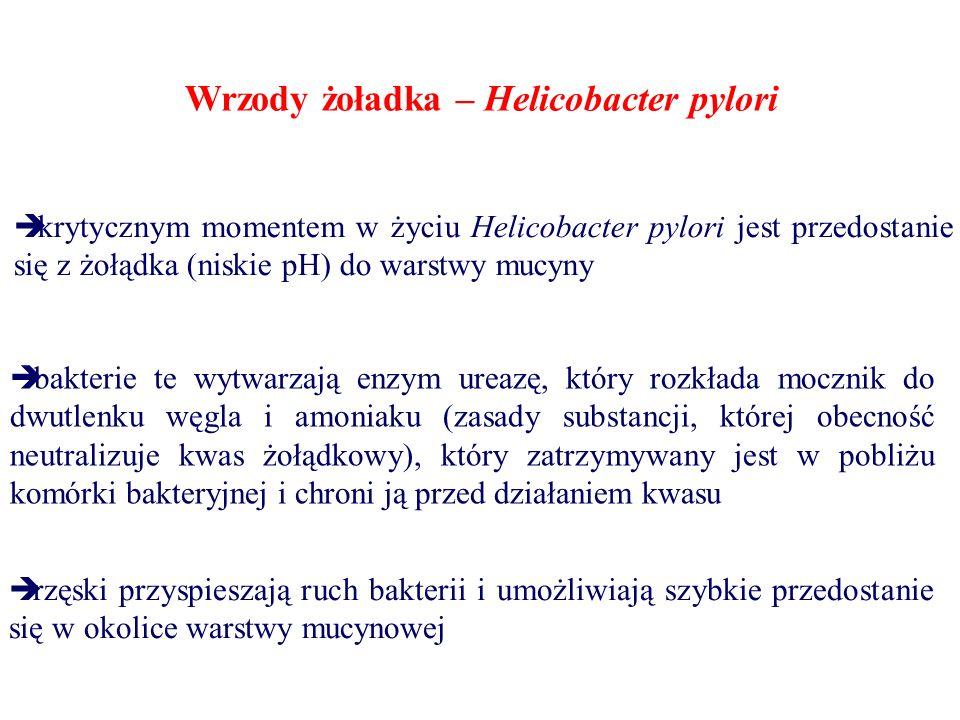 Wrzody żoładka – Helicobacter pylori  krytycznym momentem w życiu Helicobacter pylori jest przedostanie się z żołądka (niskie pH) do warstwy mucyny 