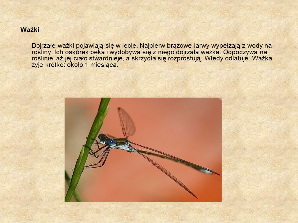 Ważki Dojrzałe ważki pojawiają się w lecie. Najpierw brązowe larwy wypełzają z wody na rośliny.