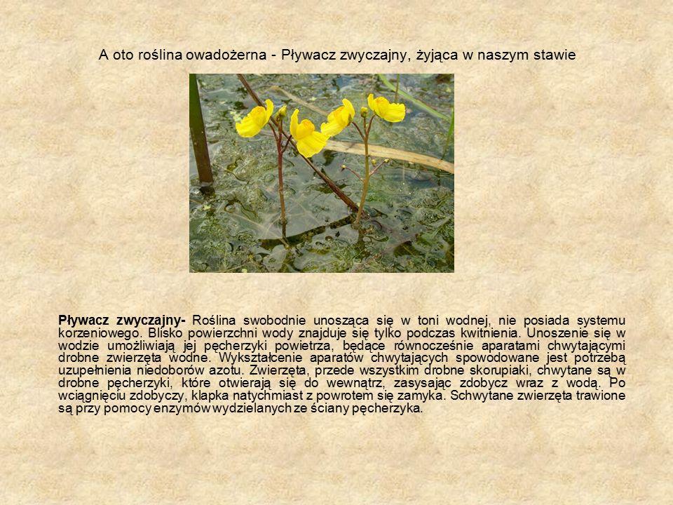 A oto roślina owadożerna - Pływacz zwyczajny, żyjąca w naszym stawie Pływacz zwyczajny- Roślina swobodnie unosząca się w toni wodnej, nie posiada systemu korzeniowego.