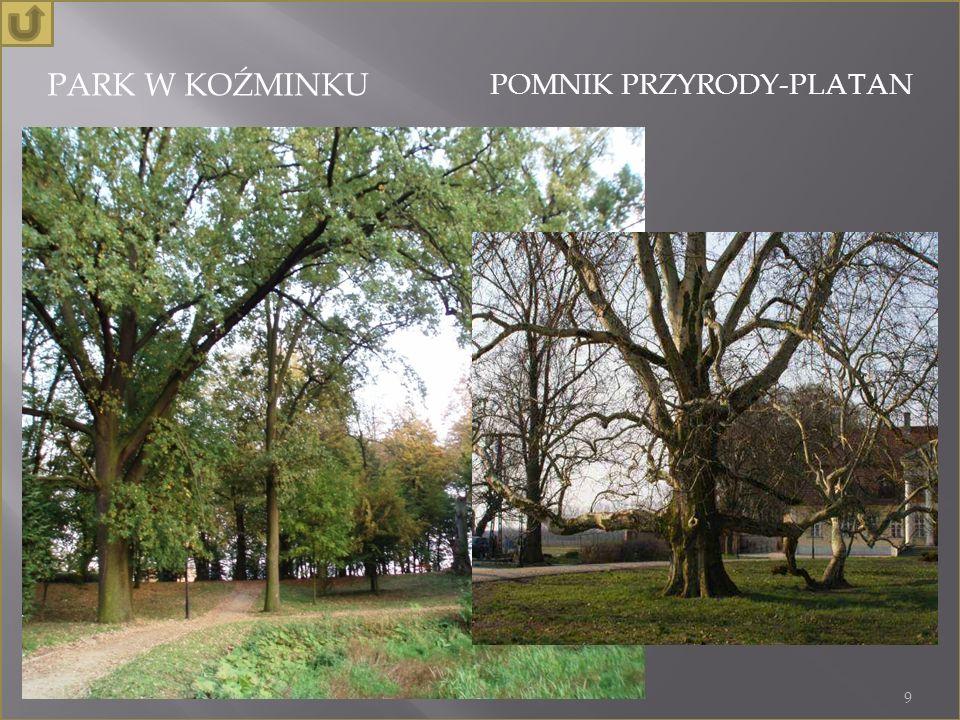 PARK W KOŹMINKU POMNIK PRZYRODY-PLATAN 9