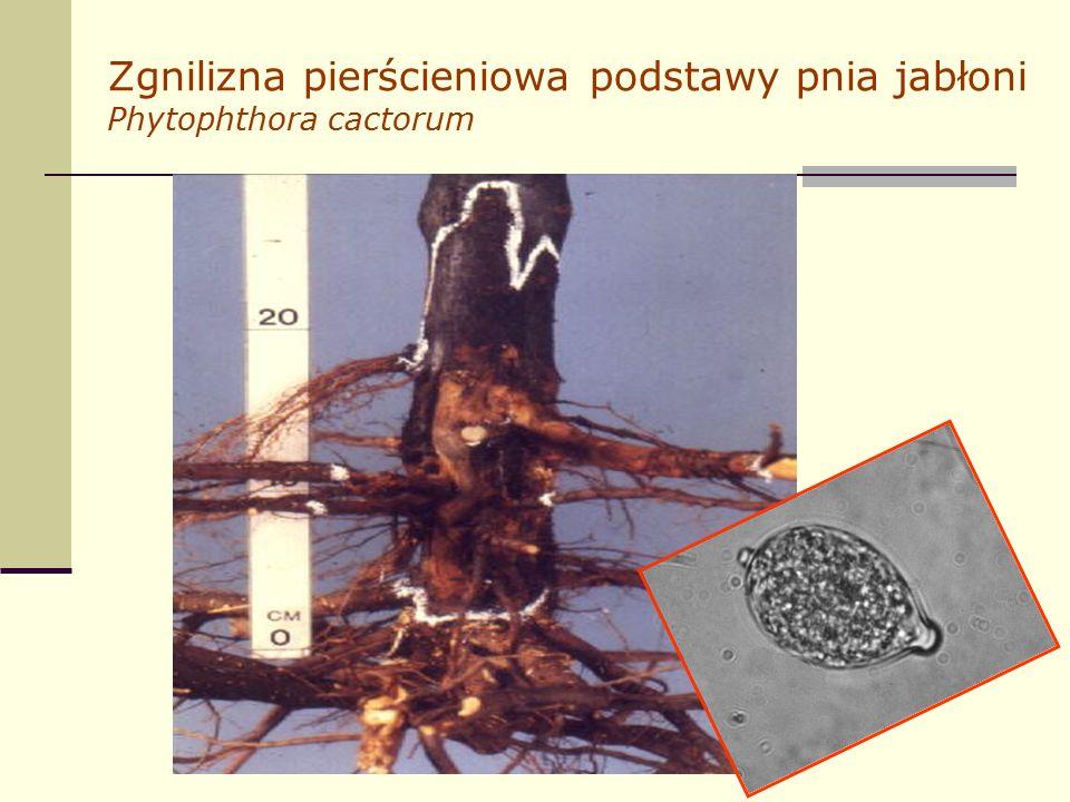 Zgnilizna pierścieniowa podstawy pnia jabłoni Phytophthora cactorum