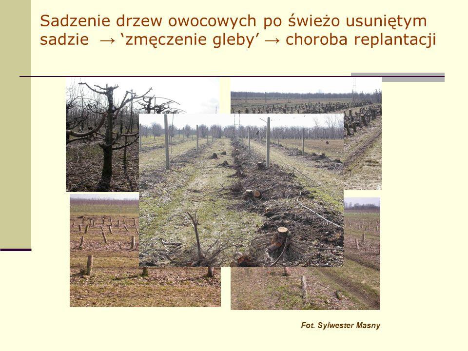 Sadzenie drzew owocowych po świeżo usuniętym sadzie → 'zmęczenie gleby' → choroba replantacji Fot.